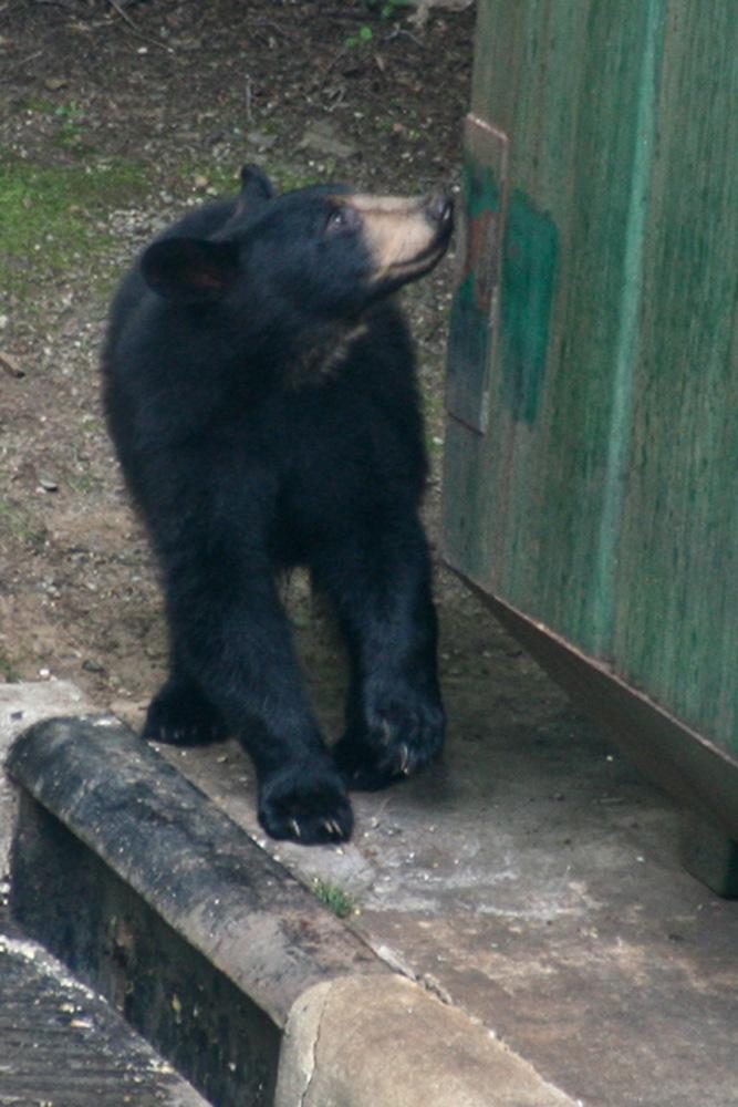 Cove bear