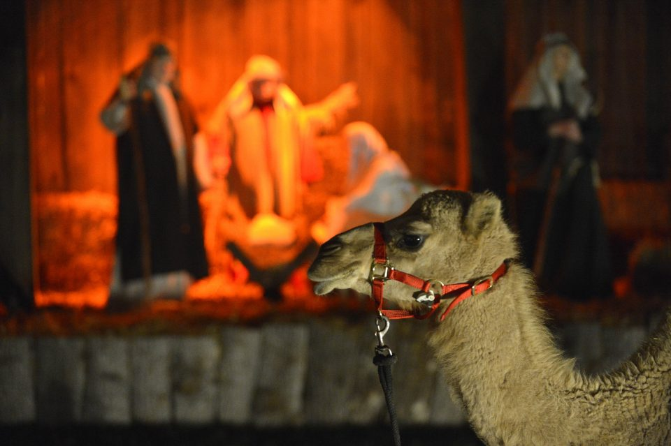 Camel with live nativity in backgground