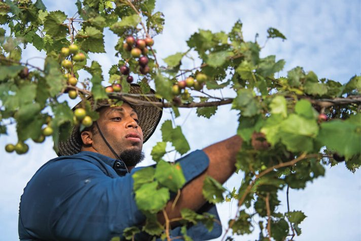 Jason Brown picking berries off of a vine