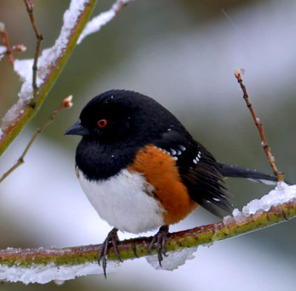 spotted_towhee_7