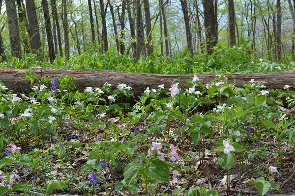 small Trillium blanket and log DSC_0125