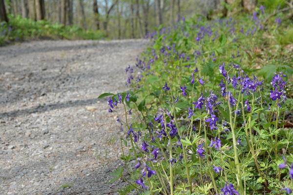small purple wildflowers along the road DSC_0150