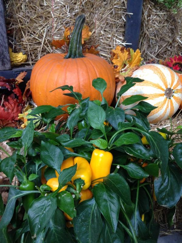 Fall Decor with Peppers October 2014