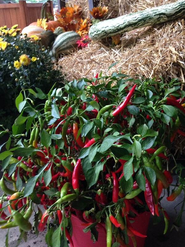 red pepper in the Fall display