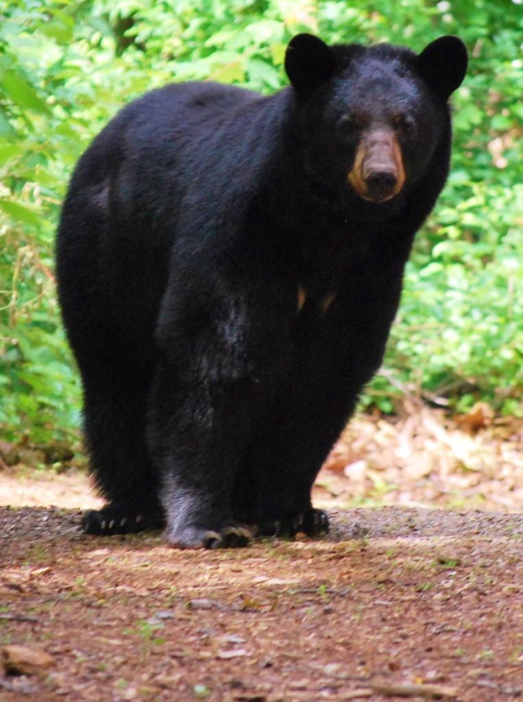 Momma bear on Cabin Road