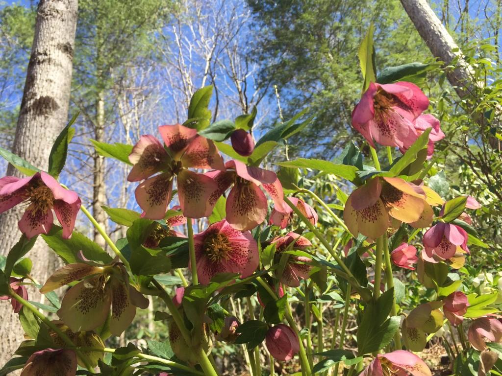 Lenten Rose March 2015
