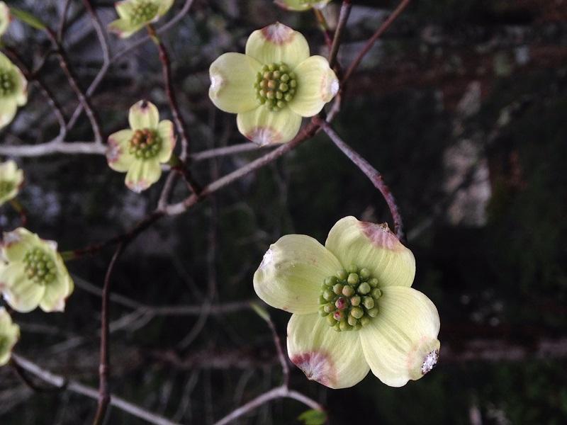 Dogwood Bloom at TC
