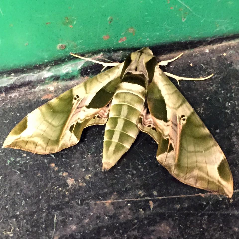 Pandora Sphinx Moth July 2015 found near loading dock at TC