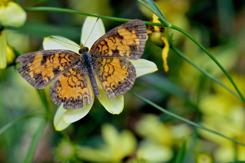 gold and brown butterfly on pale yellow flower