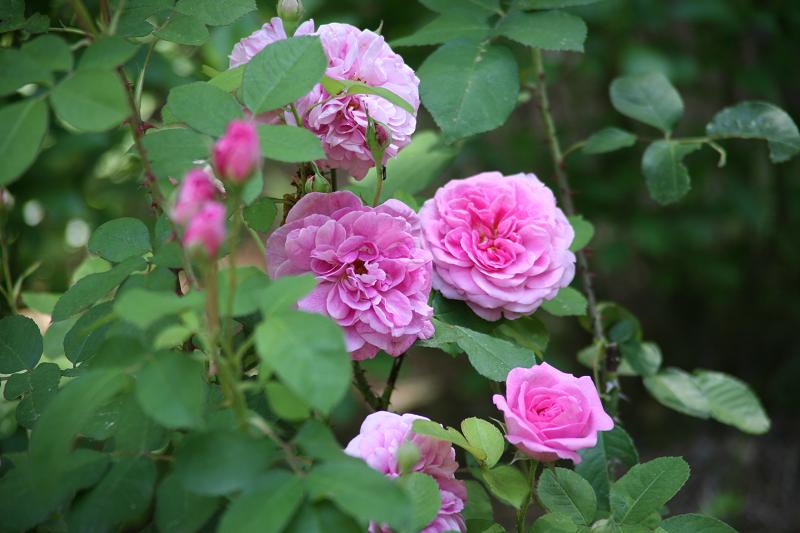 SM_Rose_in_Garden_2016