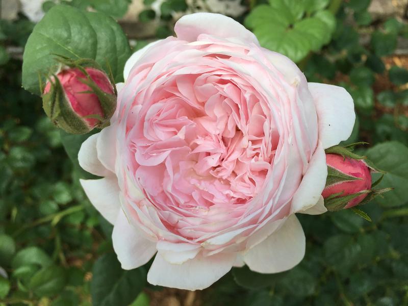 pink rose sm