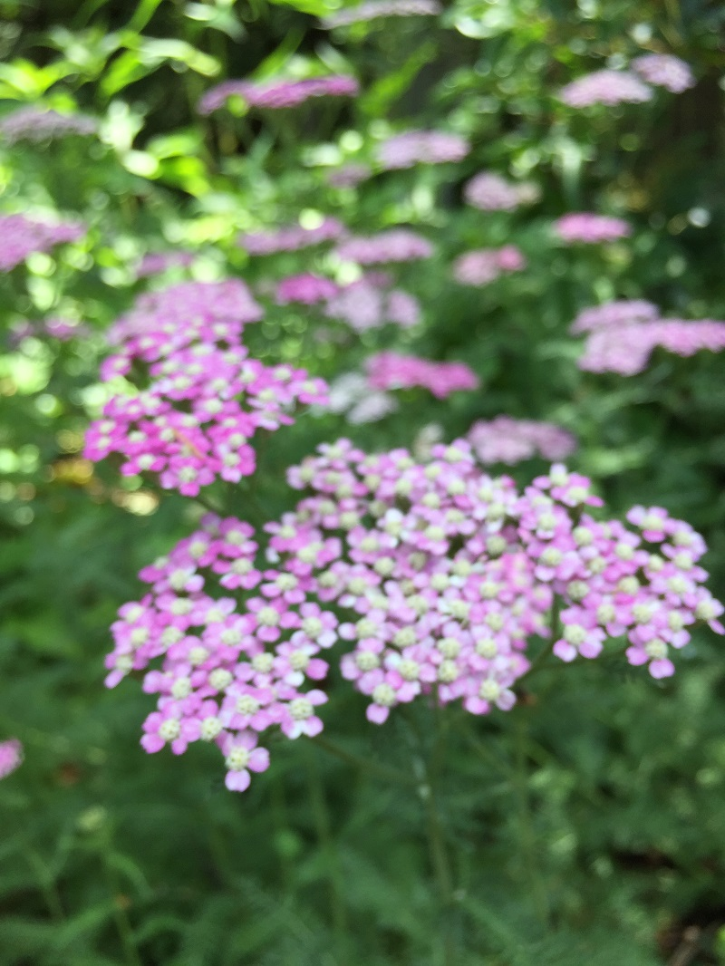 Ruths Prayer Garden June 2017 delicate pink flowers sm