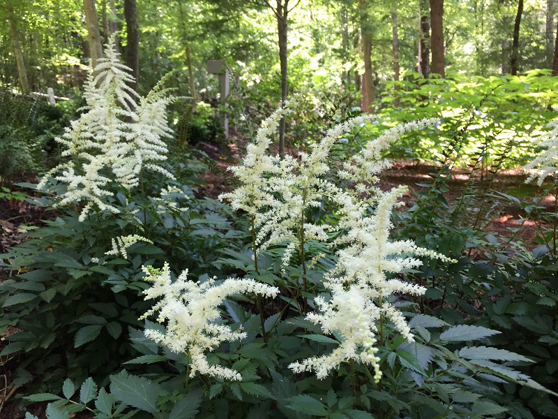 Ruths Prayer Garden June 2017 white flowers sm