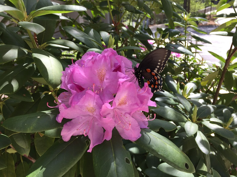 rhododendron with butterfly