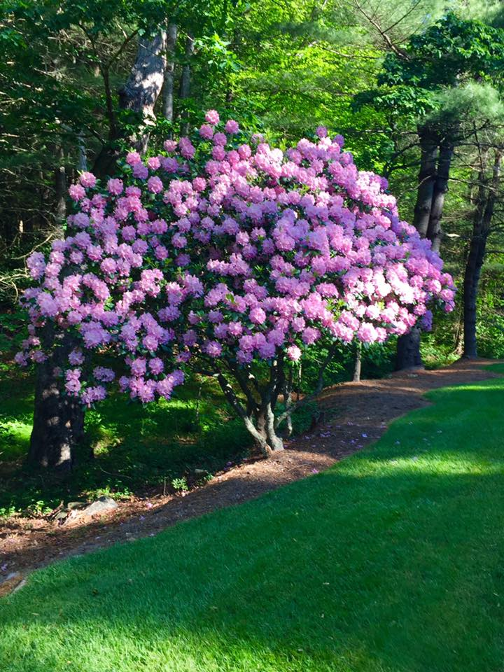 rhododendrum May 2017