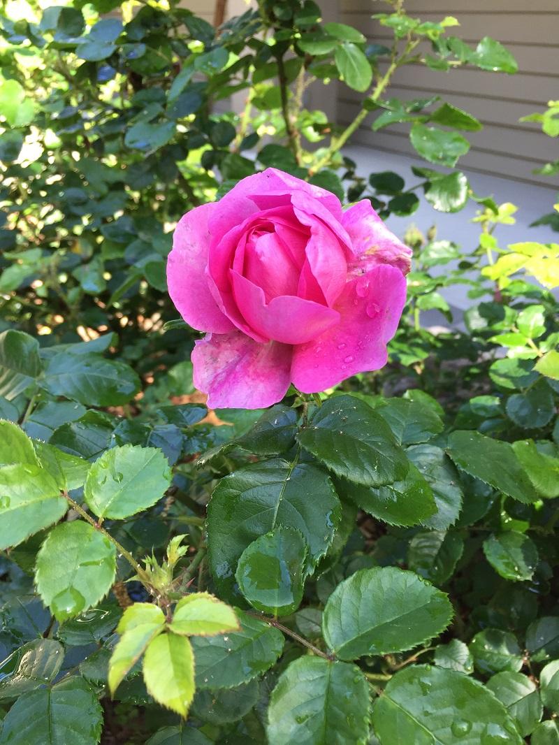rose 800 px smells divine