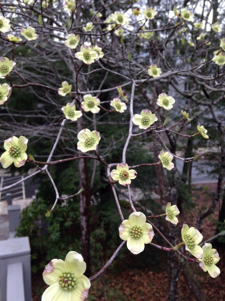 Dogwood blossoms at TC april 2015