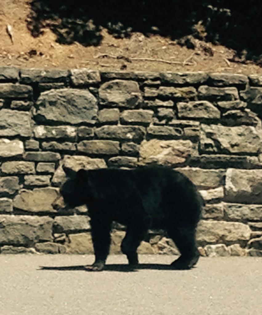 Bear in admin parking lot May 2015