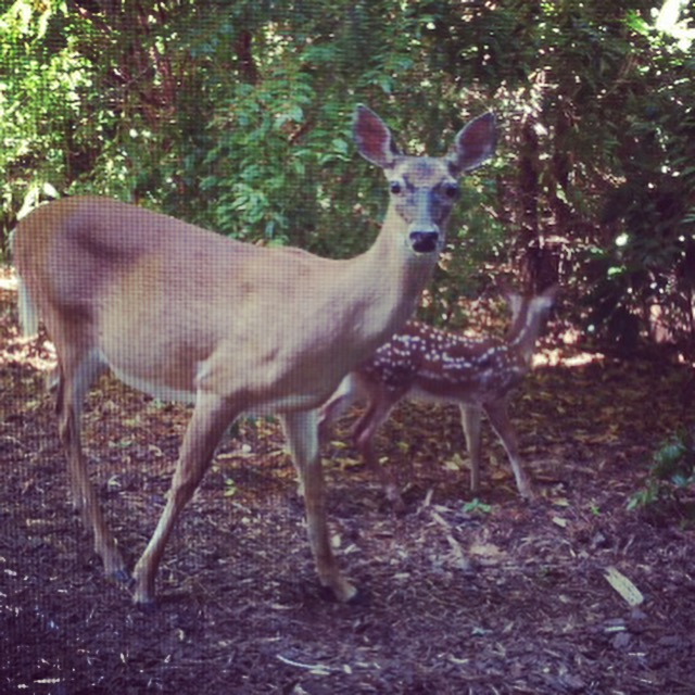 Doe and fawn outside admin June 2015