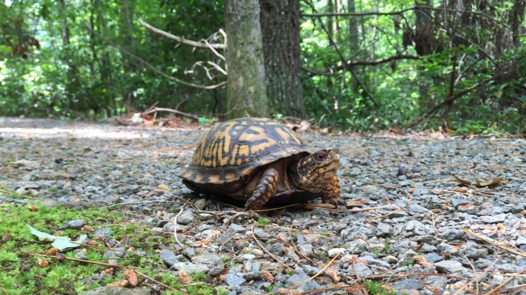 Turtle on the Cove trail June 2015