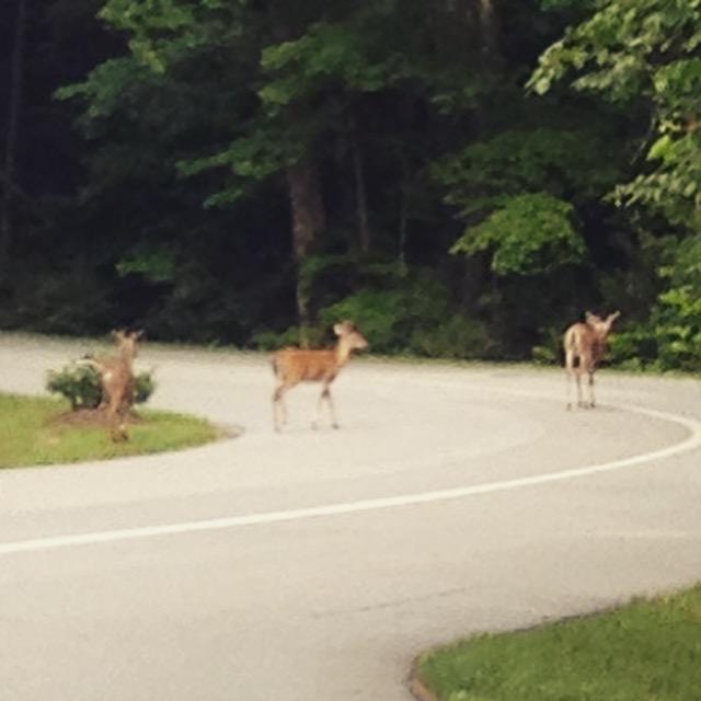 four deer crossing road June 2015