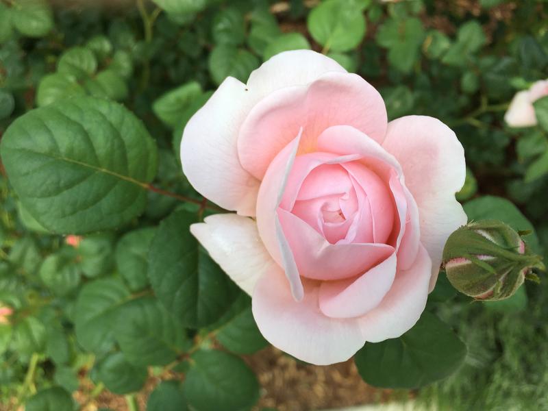 pink rose bud sm