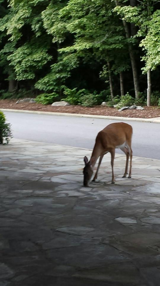 deer at the TC July 2016