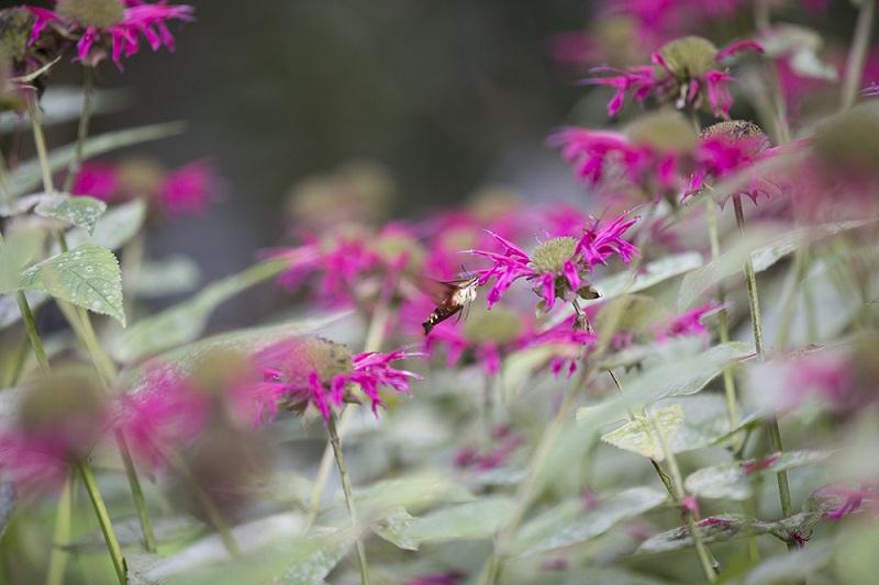 hummingbird moth at Ruths Prayer Garden August 2016